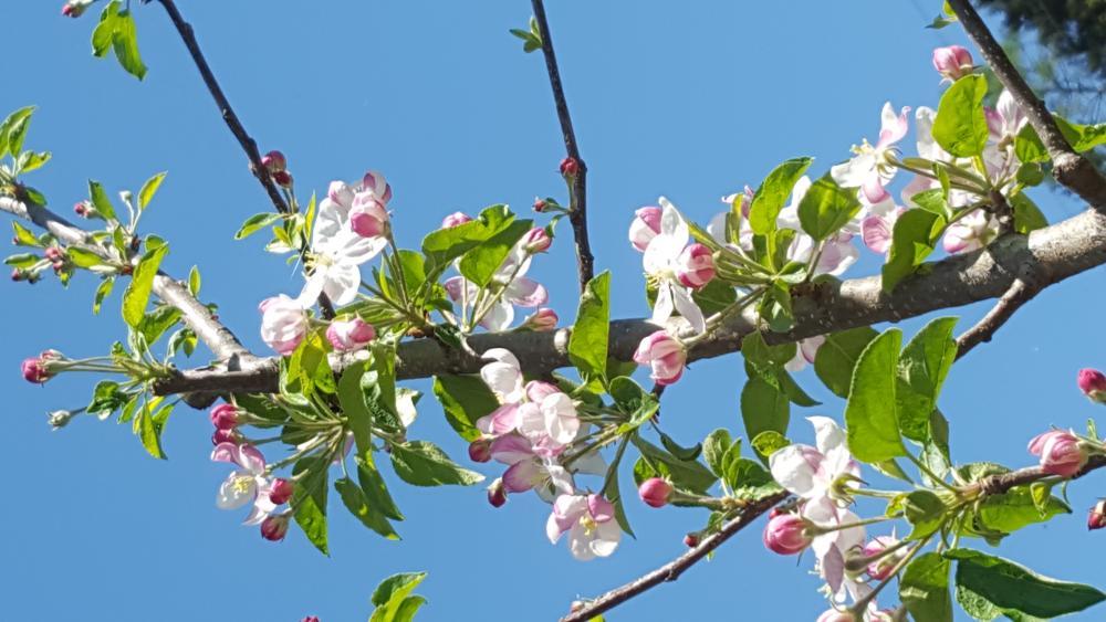 Die Apfelblüte auf dem Ritten